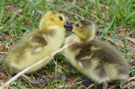 funny picture: Funny picture with two kissing young chicks of the Canada geese
