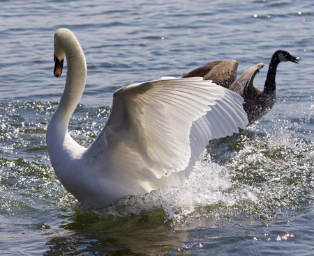Fantastic contest between the powerful swan and the brave Canada goose Stock Photo