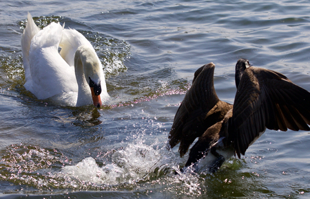 unequal: Picture of the swan chasing the Canada goose