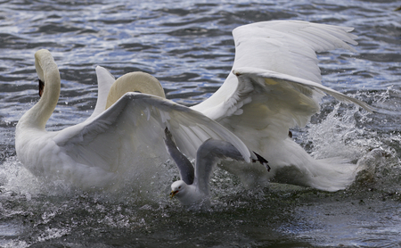 Amazing expressive image with the fighting swans