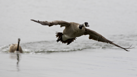 rival: Beautiful isolated image with a Canada goose flying away from his rival