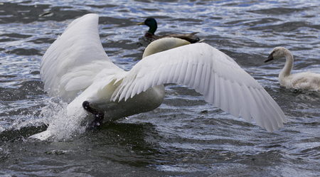Photo of a swan running to her chicks Stock Photo