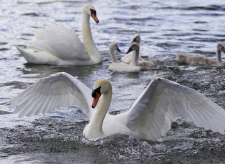 Beautiful photo of the swans with the chicks Stock Photo