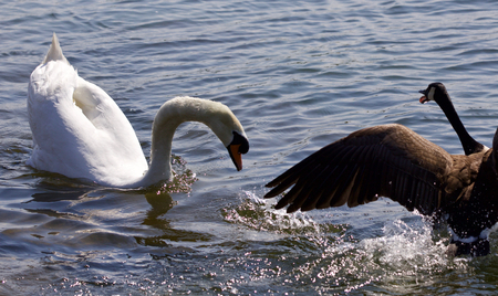 Amazing fight between the Canada goose and the swan