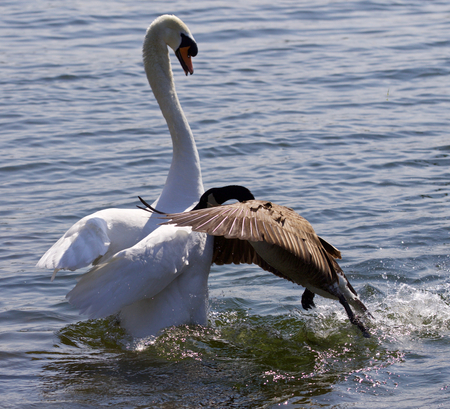 Amazing image of the epic fight between the Canada goose and the swan on the lake