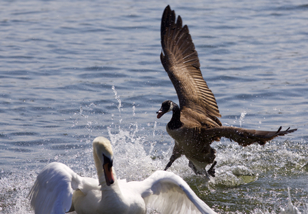 Amazing photo of the Canada goose chasing the swan