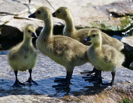 Beautiful photo of four small chicks of the Canada geese