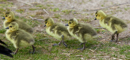 cackling: Beautiful photo of five cute chicks of the Canada geese going somewhere