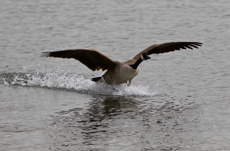 cackling: Beautiful isolated image of the landing Canada goose Stock Photo