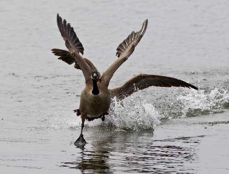 rival: Expressive isolated picture with the Canada goose chasing his rival