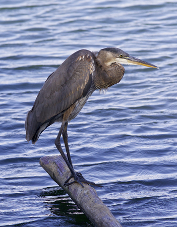Beautiful image with a great blue heron on a log in the lake