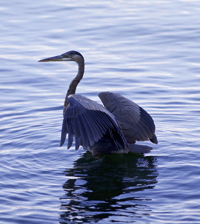 gray herons: Beautiful photo of a great blue heron standing in the lake