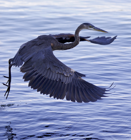 gray herons: Beautiful background with a great blue heron