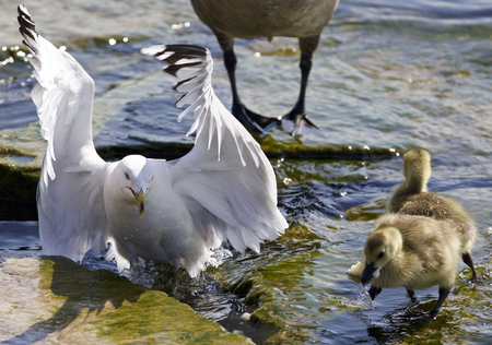 cackling: Beautiful isolated photo of Canada geese and a gull