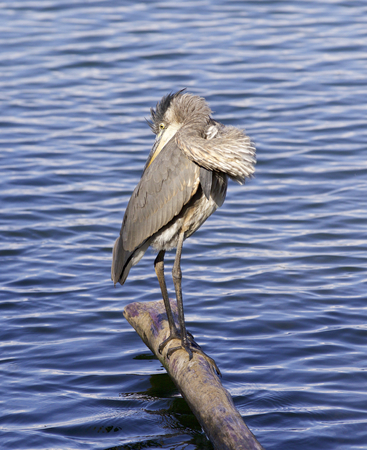 herodias: Beautiful background with a great blue heron