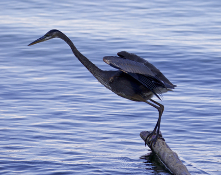 herodias: Beautiful photo of a great blue heron rady to jump into the water Stock Photo