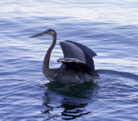 herodias: Beautiful background with a great blue heron in the lake Stock Photo