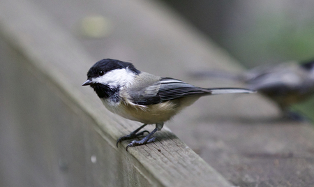 Beautiful background with a black-capped chickadee Stock Photo