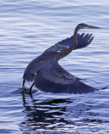 herodias: Beautiful photo of a great blue heron taking off from the lake