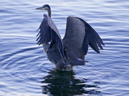 Beautiful image with a great blue heron with the wings opened