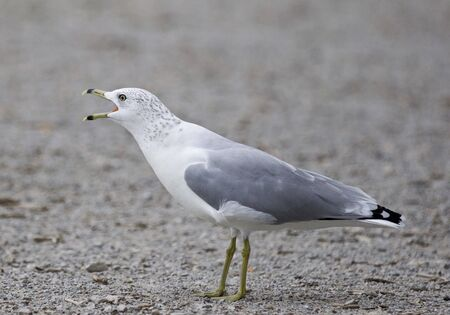 Funny isolated photo of a screaming gull on the shore Stock Photo