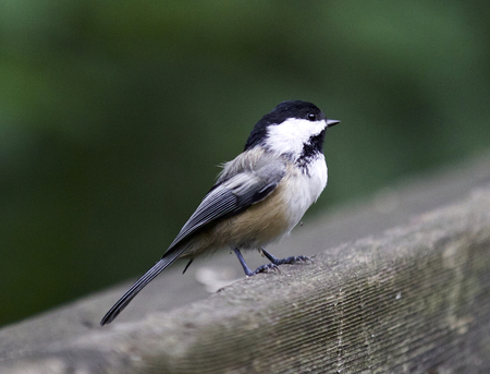 Beautiful isolated picture with a black-capped chickadee Stock Photo