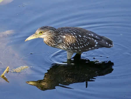 herodias: Photo of a funny black-crowned night heron standing on the shore