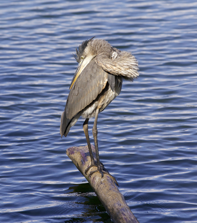 herodias: Beautiful picture with a great blue heron
