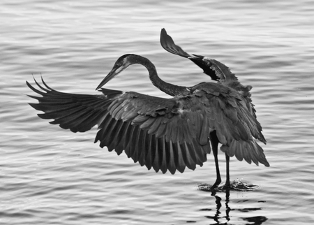 Beautiful photo of a great blue heron with wings opened