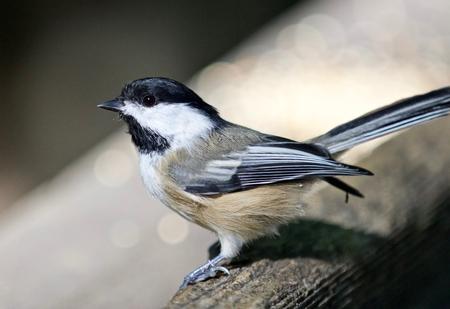 Beautiful isolated photo of a black-capped chickadee bird Stock Photo
