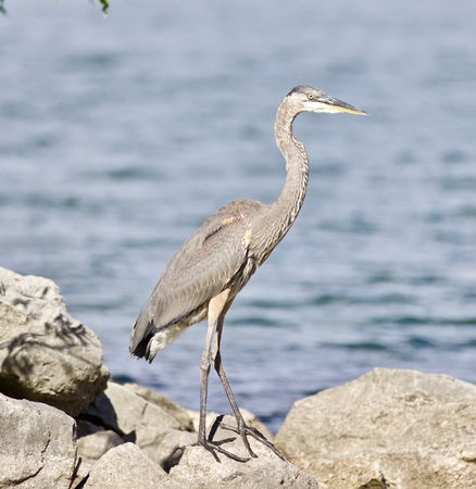 Beautiful photo of a great heron bird on the rock shore