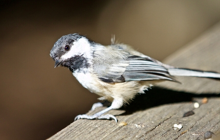 Beautiful isolated photo of a black-capped chickadee bird Stock Photo