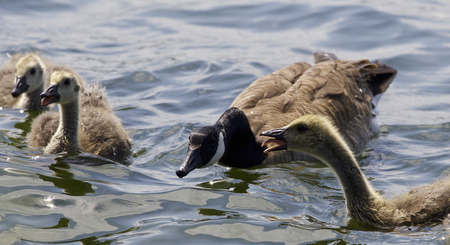 pollitos: Beautiful isolated photo of chicks of the Canada geese swimming in the lake
