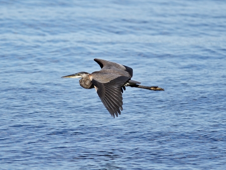 herodias: Photo of a great heron in flight near the water