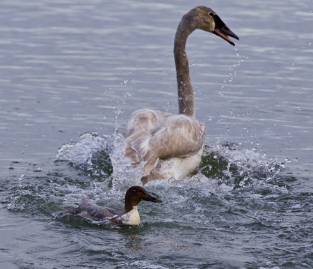Isolated photo of a swan under attack of a  crazy duck