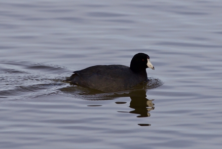 Beautiful photo of amazing american coot in the lake