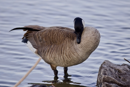Beautiful background with a cute Canada goose