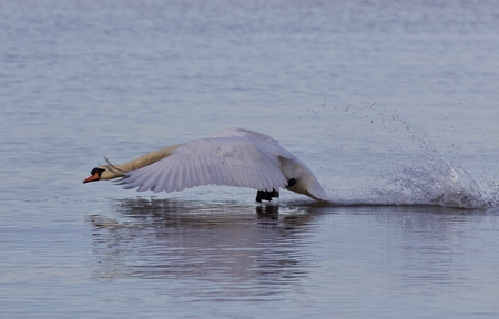 Beautiful background with a powerful swans take off