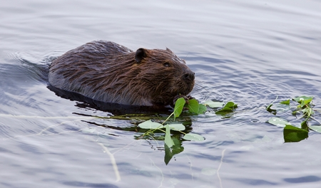 Beautiful isolated photo of a beaver in lake