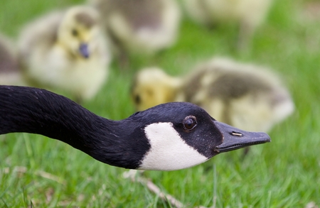 hamilton: Beautiful isolated photo of a young family of Canada geese Stock Photo