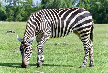 Image of a zebra eating the grass on a field Stock fotó