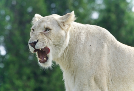 Isolated picture with a scary white lion screaming