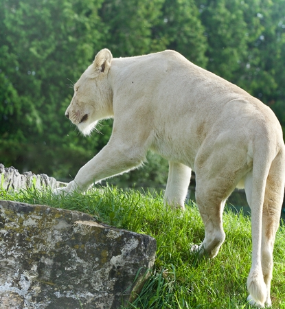 hamilton: Beautiful background with a white lion walking