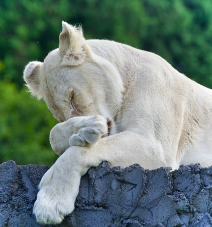 hamilton: Photo of a funny white lion trying not to sleep