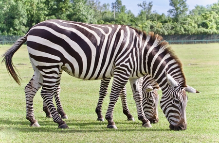 hamilton: Background with a pair of zebras eating the grass Stock Photo