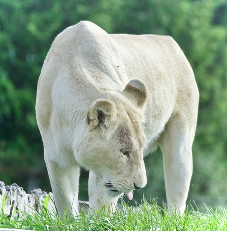 Beautiful postcard with a white lion walking