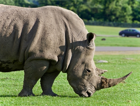 Image of a rhinoceros eating the grass on a field Stock Photo
