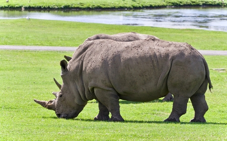 hamilton: Picture with two rhinoceroses eating the grass