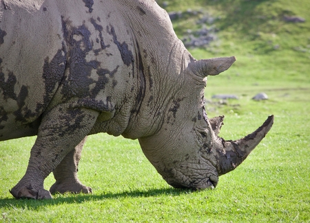 Isolated photo of a rhinoceros eating the grass Stock Photo