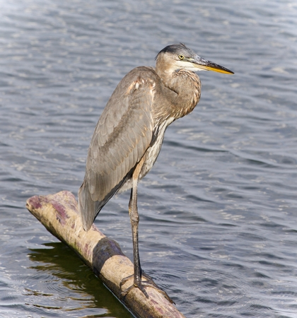 Image of a great blue heron standing on a log